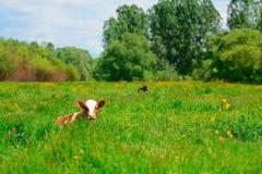 Schwarzweiss-Kuh, die auf Wiese in den Bergen weiden lässt Vieh auf einer Sommerweide Sonniger Tag des Sommers Kuh in der Weide B Lizenzfreie Stockfotos