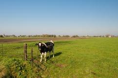 Schwarzweiss-Kuh an einem rostigen Tor Stockfotos