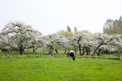 Schwarzweiss-Kuh vor blühendem Obstgarten Stockbilder