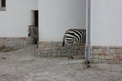 Schwarzweiss - lustige Zebras Stockfotos