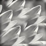 Schwarzweiss-- Makro-Daisy Petals Lizenzfreie Stockfotografie