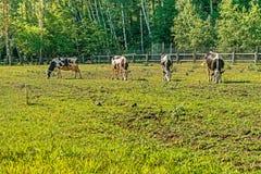 Schwarzweiss-Milchkühe, die auf dem Standort für Sommerkühe in der Mezhyhirye-Fläche nahe Kiew weiden lassen Lizenzfreies Stockfoto