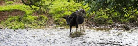 Schwarzweiss-Milchkuh, die in einem Strom des fließenden Wassers steht Stockbilder