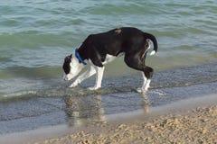 Schwarzweiss-Mischzuchthund, der das Wasser überprüft Stockfotografie