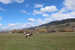 Schwarzweiss-Pferd auf dem Gebiet mit Hügel- und Himmelhintergrund Stockfotografie