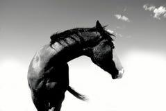 Schwarzweiss-Pferd gewölbter Hals Stockfoto