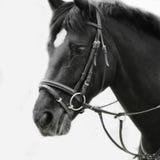 Schwarzweiss-Porträt des arabischen Hengstes Stockbilder