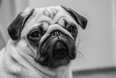 Schwarzweiss-Porträt eines ernsten Pug stockfotos