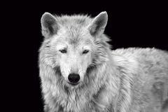 Schwarzweiss-Porträt eines wilden Waldwolfs stockbilder