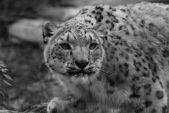 Schwarzweiss-Profil-Porträt eines Snow Leopard in einem Schnee-Sturm gegen ein Mot lizenzfreies stockbild