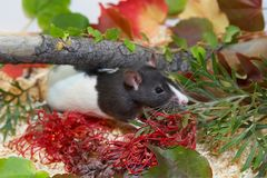 Schwarzweiss-Ratte, die im Laub versteckt Lizenzfreies Stockfoto