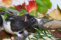 Schwarzweiss-Ratte, die im Laub versteckt Stockfoto