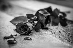 Schwarzweiss-Rose stockfoto