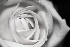 Schwarzweiss, schön, empfindlich stieg Lizenzfreie Stockbilder