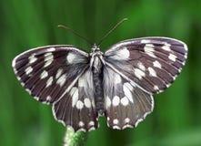 Schwarzweiss-Schmetterling Stockfoto