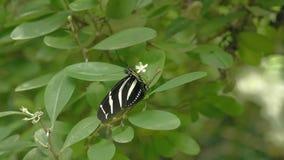 Schwarzweiss-Schmetterling auf Blatt Nahaufnahme des sitzenden Schmetterlinges auf Grünpflanze stock video