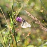Schwarzweiss-Schmetterling, der Blütenstaub auf lila Blumen in G erfasst lizenzfreie stockfotografie