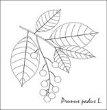 Schwarzweiss-Skizze einer Niederlassung der Kirsche, der Früchte und der Blätter Stockfotografie