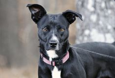 Schwarzweiss-Smoking gemischter Zuchthund auf Leine Stockfotografie