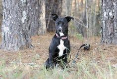 Schwarzweiss-Smoking gemischter Zuchthund auf Leine Lizenzfreies Stockbild