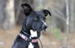 Schwarzweiss-Smoking gemischter Zuchthund auf Leine Stockbilder