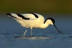 Schwarzweiss-Stelzvogelvogel gescheckter Avocet, Recurvirostra avosetta, im blauen Wasser, Texel, Holland Lizenzfreie Stockfotografie