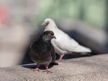 Schwarzweiss-Tauben lizenzfreies stockfoto