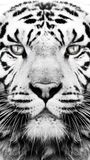 Schwarzweiss-Tigermustertapete Lizenzfreies Stockbild