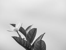 Schwarzweiss-Ton der einsamen Blume und des undeutlichen Hintergrundes Stockbild