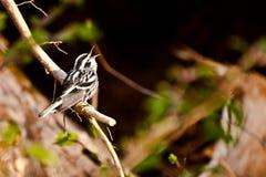 Schwarzweiss-Trällerer Stockfotos