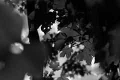 Schwarzweiss--Unschärfe-Hintergrund Acers Campestre Lizenzfreies Stockbild