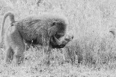 Schwarzweiss--Vervet-Affe Chlorocebus-pygerythrus in Serengeti Lizenzfreie Stockfotos