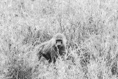 Schwarzweiss--Vervet-Affe Chlorocebus-pygerythrus in Serengeti Lizenzfreies Stockbild