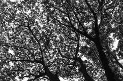Schwarzweiss vom Baum Stockfotos