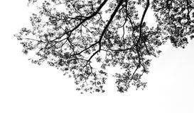 Schwarzweiss vom Niederlassungsbaum Stockfotos