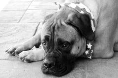 Schwarzweiss von Bullmastiff-Hund, der patriotischen Bandana trägt Lizenzfreie Stockfotos
