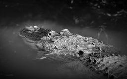 Schwarzweiss von einem amerikanischen Alligator, der im Wasser lauert Stockbilder