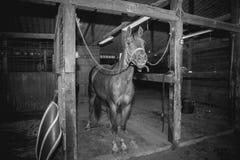 Schwarzweiss von einem Pferd in ihm stabil Stockfotos