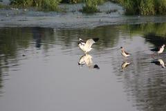 Schwarzweiss-Wasservogel Stockbild