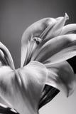 Schwarzweiss-weiße Lilie Stockbild