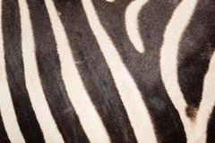 Schwarzweiss-Zebrahautmuster für Hintergrund Lizenzfreie Stockfotografie