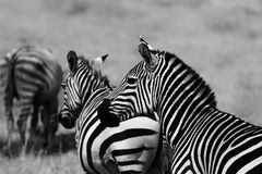 Schwarzweiss-Zebras Lizenzfreie Stockbilder