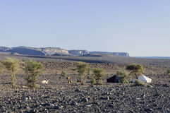 Schwarzweiss-Zelte in Hamada du Draa (marokkanische Steinwüste, Lizenzfreies Stockbild