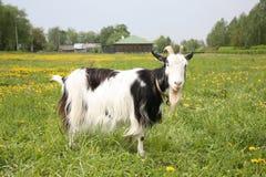 Schwarzweiss-Ziege Lizenzfreies Stockfoto