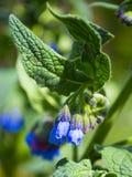 Schwarzwurz Symphytum officinale Blumen von verwendet in der organischen Medizin stockfotos