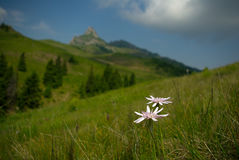 Schwarzwurzel Rosea, schöne wilde Blumen auf Berg Lizenzfreie Stockfotografie