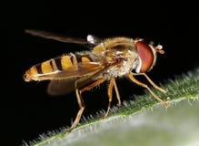 Schwebeflug-Fliege stockbilder