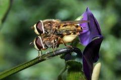 Schwebeflug-Fliegen, die auf einer Viola verbinden Stockfoto
