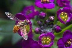 Schweben über Alyssum-Blumen Stockbild