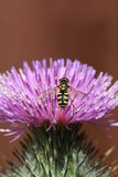 Schweben-fliegen Sie auf eine Distelblume Stockbild
